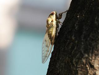 A Cicada Doesn't Know the Springtime