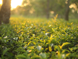 The Scent of Dharma in the Tea Garden