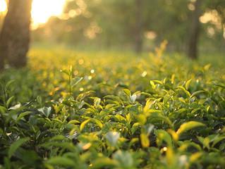 The Scent of Dharma in the Tea Garden