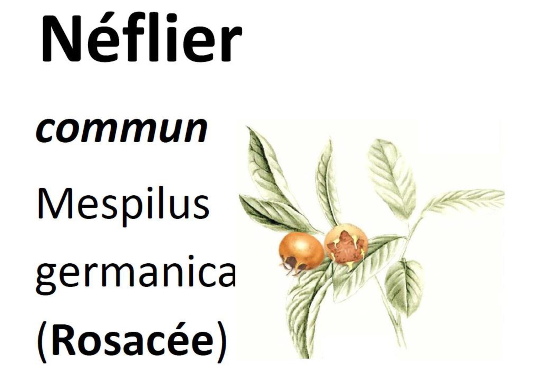 20 Flore Néflier-page-001