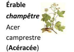 20_Flore_Erable_champêtre-page-001_(1)