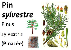 20 Flore Pin sylvestre-page-001