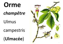 20_Flore_Orme_champêtre-page-001