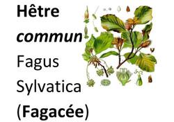 20_Flore_Hêtre_commun-page-001