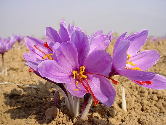 Best Saffron Kesar Himalayan.jpg
