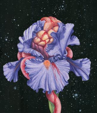 Iris Germanica Sanguinus