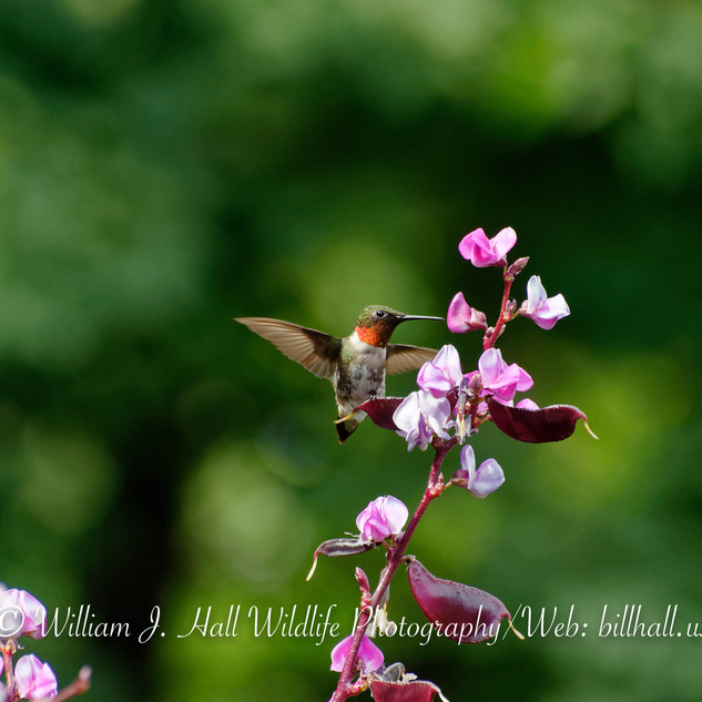 Ruby Throated Hummingbird Male on Flowers.jpg
