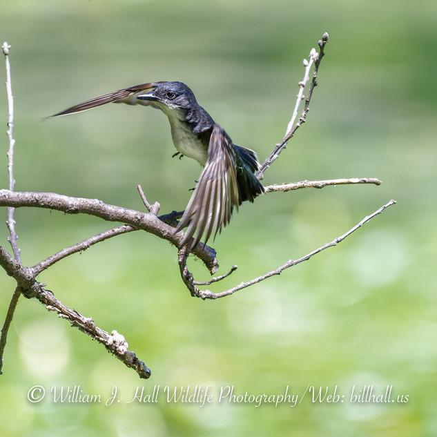 Kingbird  in Pleasantville, N.Y.