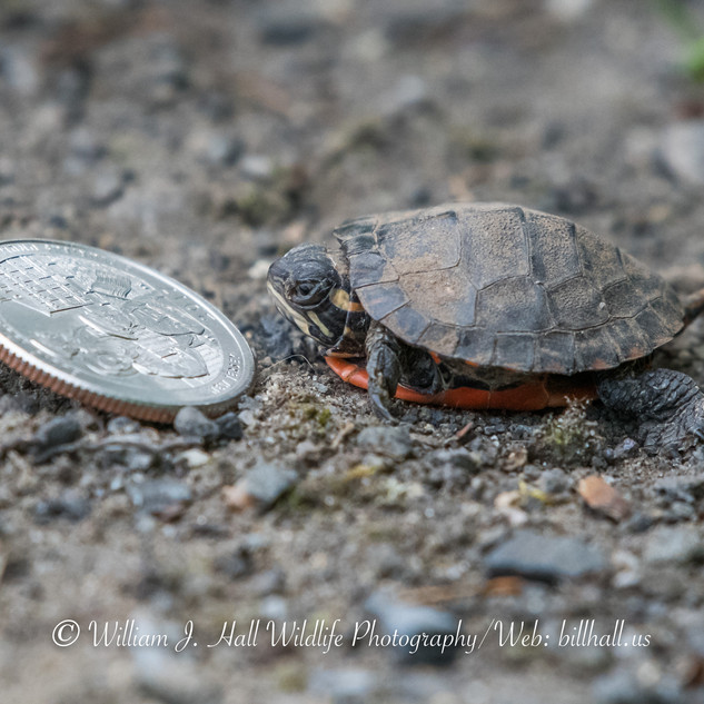 Painted Turtle Baby