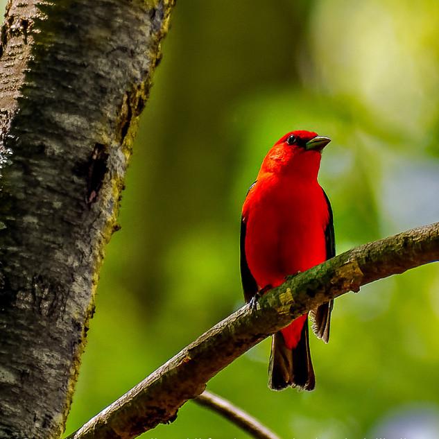 Scarlet Tanager Male in Pleasantville, N.Y.