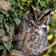 Great Horned Owl in Rye, N.Y.