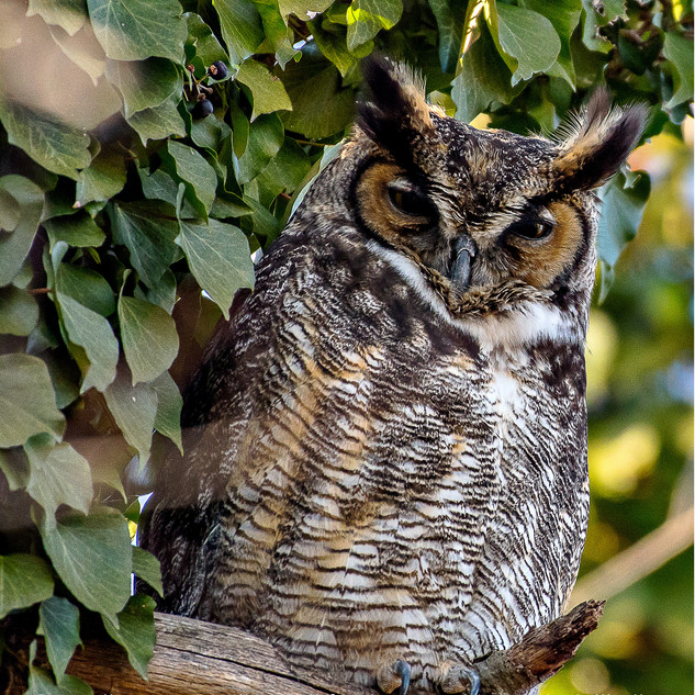 Great Horned Owl in Rye, N.Y.