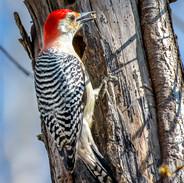 Red Bellied Woodpecker,  Larchmont, N.Y