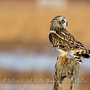 Short Eared Owl in Ulster County, -.Y.- in Ulster County, N.Y.
