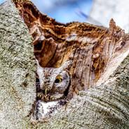 Screech Owl Grey Phase