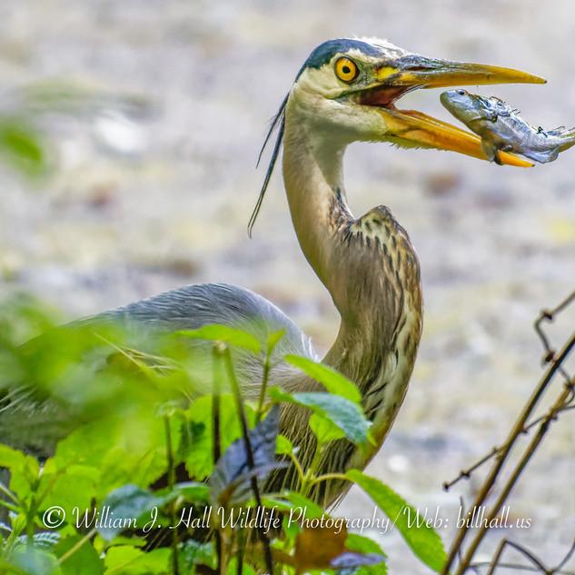 Great Blue Heron in Pleasantville, N.Y.