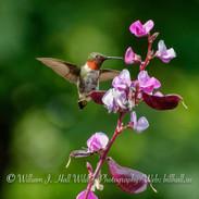 Male Ruby throated Humingbird