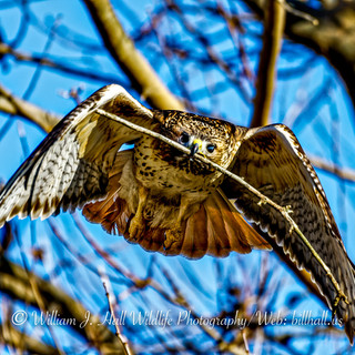 Red Tailed Hawk in Croton N.Y.