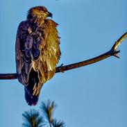Young Bald Eagle in Croton, N.Y.