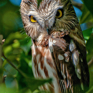 Northern Saw-Whet Owl in the Bronx, N.Y.
