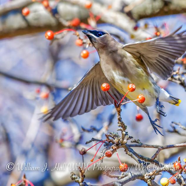 Cedar Wax-wing