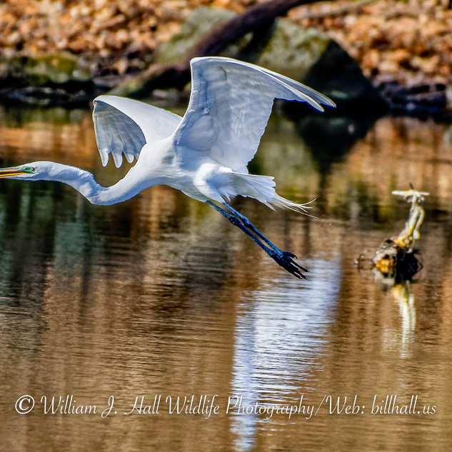 Egret in Larchmont, N.Y.
