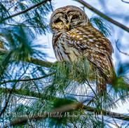 Barred Owl in the Bronx, N.Y.
