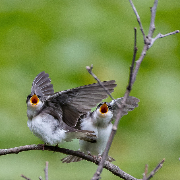 Baby Kingbirds