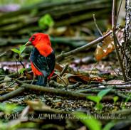 Scarlet Tanager Male in Pleasantville, N.Y
