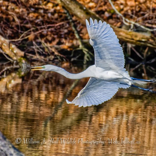 Great Egret in Larchmont, N.Y.