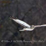 Male Harrier in Ulster County, N.Y. in Ulster County, N.Y.