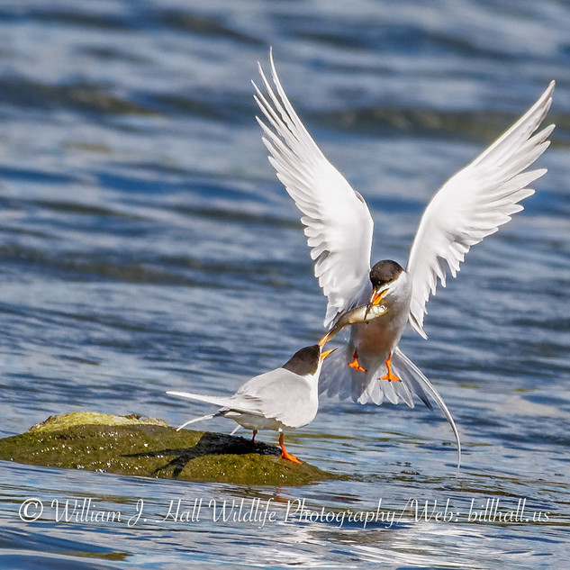 Two Terns on Long Island Sound