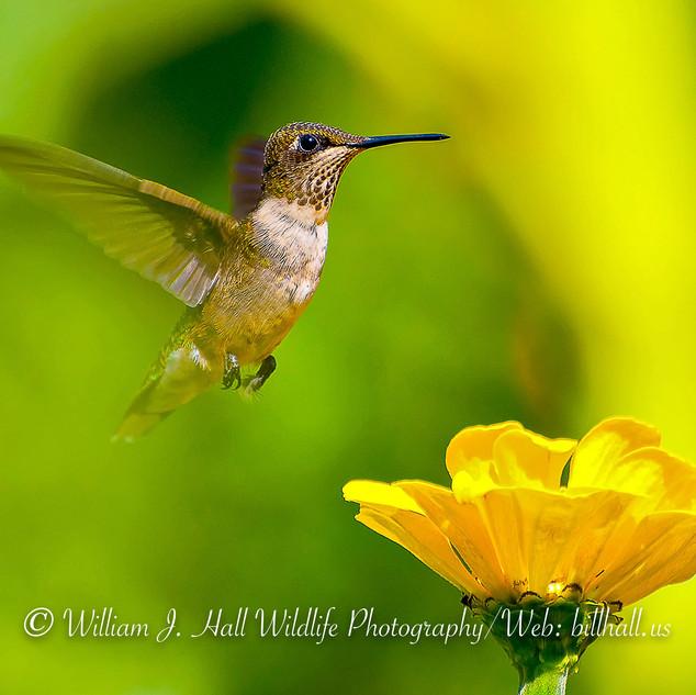 Female Ruby-throated Hummingbird  New Rochelle, N.Y.