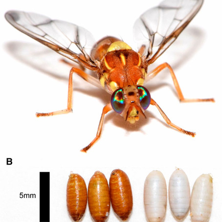 A Chromosome-Scale Assembly of the Bactrocera cucurbitae Genome