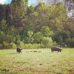 sows and piglets on pasutre