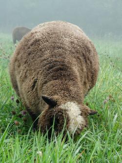 Sustainable lamb