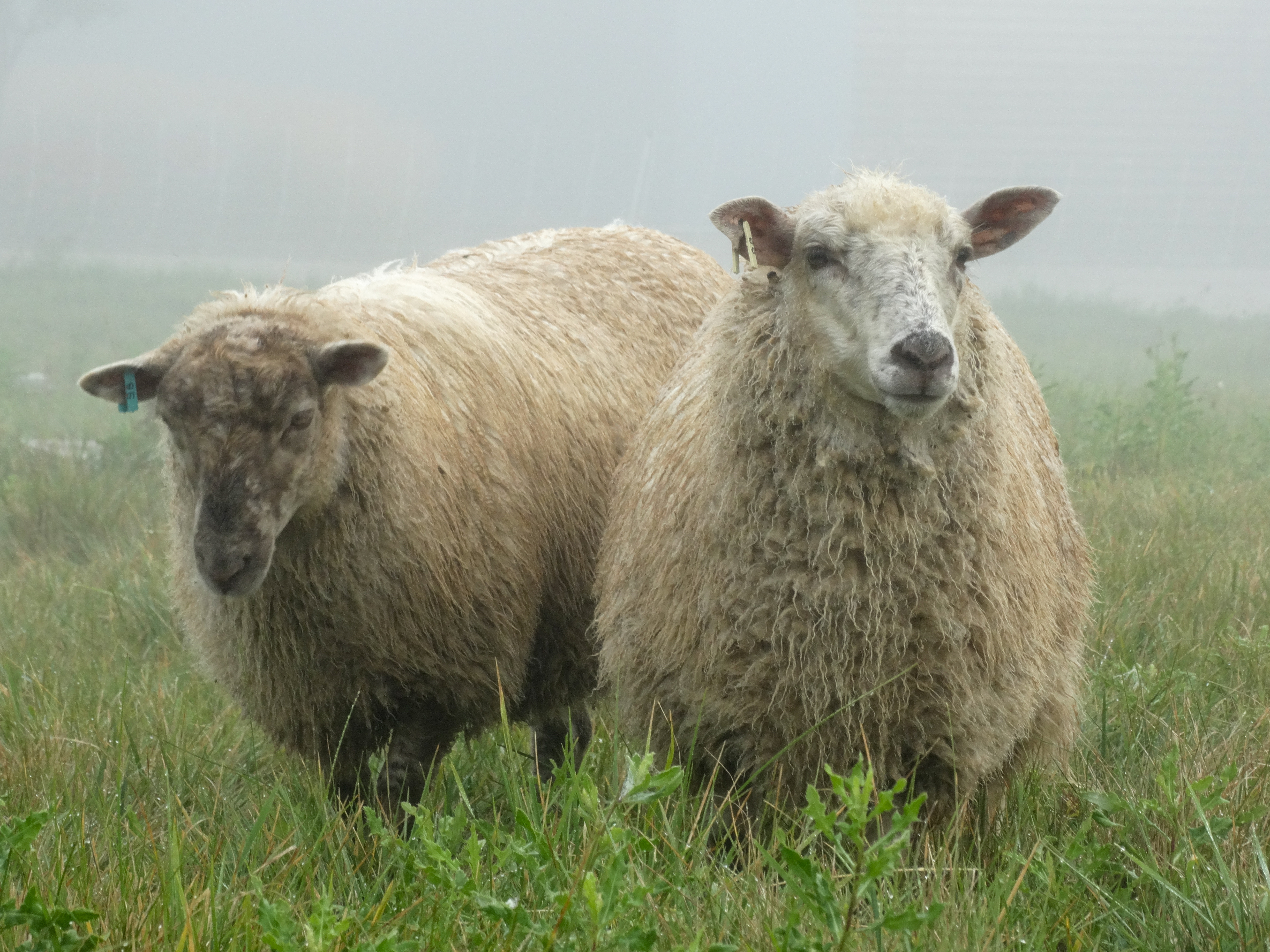 organic lamb niagara