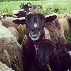 Yin and lamb