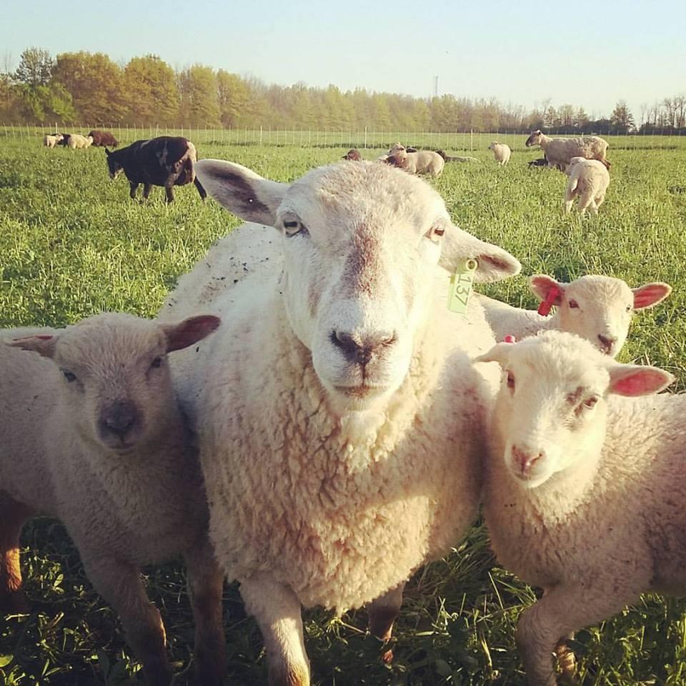merri and lambs