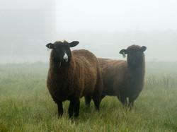grass-fed lamb niagara