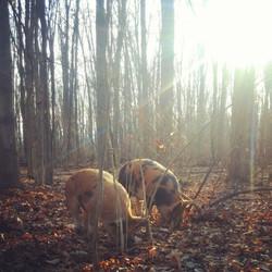 Pigs forest sunrise