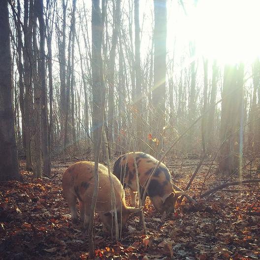 Pigs grazing at Linc Farm @Southbrook