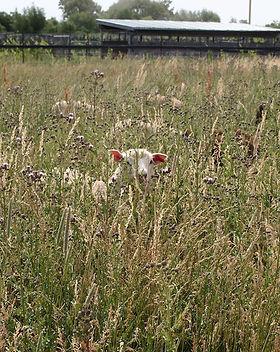 THL lamb.jpg