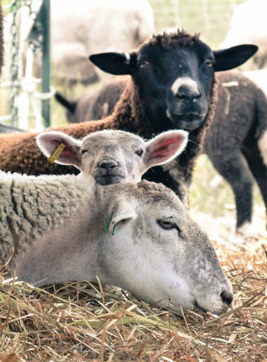 Humane organic lamb, niagara