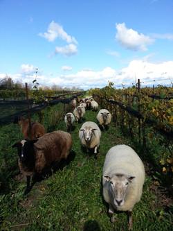Sheep graze in vineyard