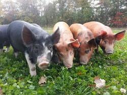 Linc Farm pigs