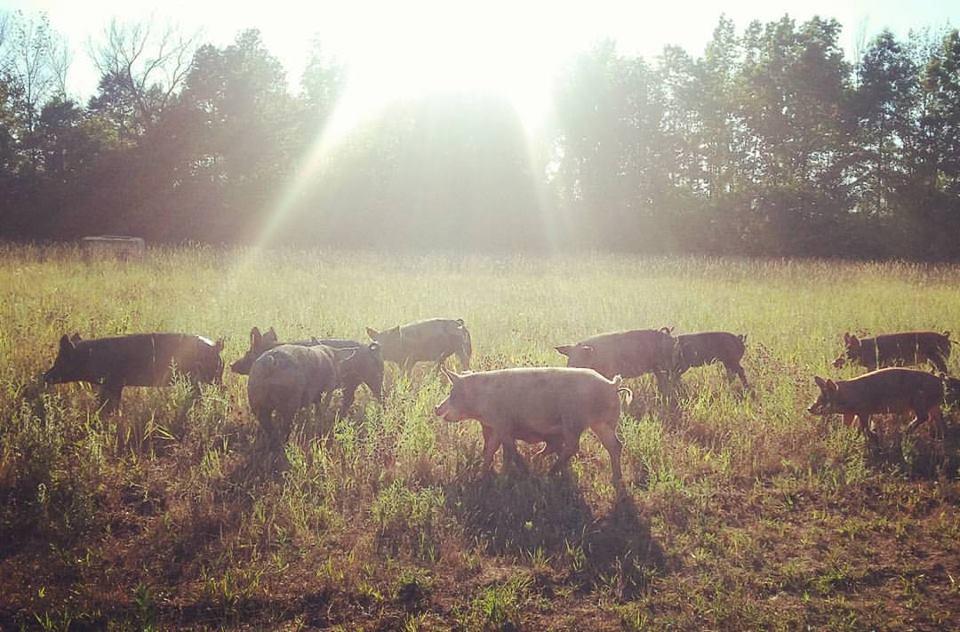 pigs sunrise
