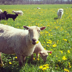 sheep dandelions