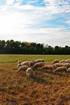 PYF sheep.png