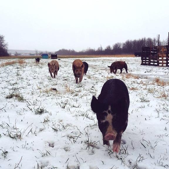 snow pigs_edited